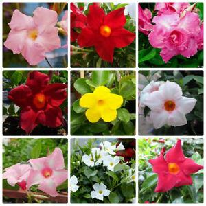 100-Mandevilla-Sanderi-Seeds-5-Kinds-Dipladenia-Bonsai-Colorful-Room-Flower