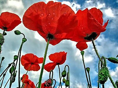 500 RED ORIENTAL POPPY MIX Papaver Orientale Flower Seeds *Flat Shipping & Gift
