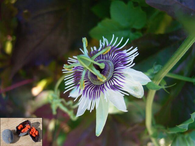 Passiflora Morifolia Woodland Passion Flower Fast Growing Vine 10