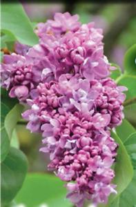 "Hardy Old Fashion Purple Lilac 25""-30"" Transplants"