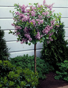 Dwarf-Lilac-meyeri-PALIBIN-grafted-tree-90-cm-tall-seedling-bare-roots