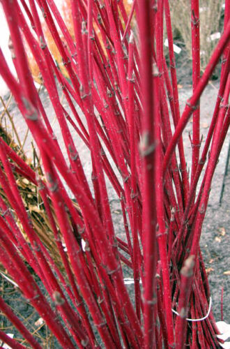 Rotholz Hartriegel Cornus alba Sibirica 80-100cm rote Holzfärbung im Winter