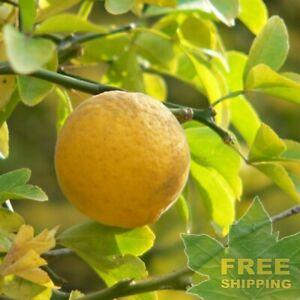 WINTER-HARDY-ORANGE-Poncirus-Citrus-Trifoliata-5-SEEDS-FREE-S-amp-H