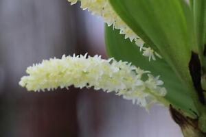Eria-spiculata-sehr-selten-Bluehfaehig-Top-Orchidee-temperiert-warm