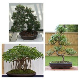 Bonsai-Zimmerpflanzen-Spar-Set-i-STRAHLENARALIE-PFEFFERBAUM-SCHWARZKIEFER-i