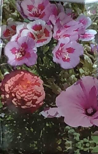 graines mélange de fleurs coin rose