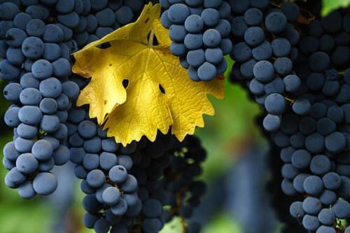 Pré-commande RARE Isabella raisins strawberryflavors 3 Boutures de recevoir en septembre