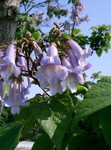 500-10000-frische-Samen-Seeds-Paulownia-tomentosa-Blauglockenbaum