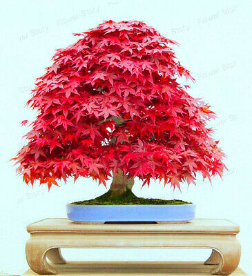 10 Seeds Japanese Red Maple Tree Bonsai Rare Plant For Home Garden Ebay