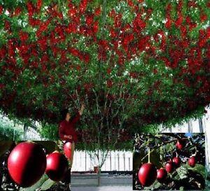 tomaten baum exotische gro e pflanzen f r die wohnung exot essbare zimmerpflanze ebay. Black Bedroom Furniture Sets. Home Design Ideas
