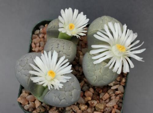 10 SEEDS Samen Semi Korn  種子 씨앗 Семена Lithops Geyeri Hillii C232