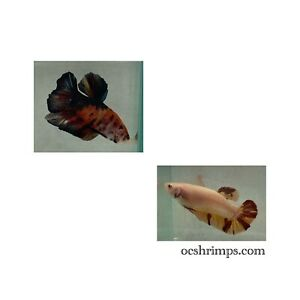 Giant Betta Pair T6 ( Male & Female ) 2.5 Inches