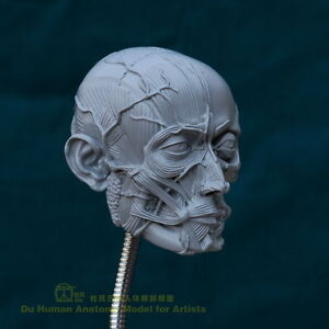 Du Human Anatomy Model for Artists -Muscles&Superficial Veins Head ...