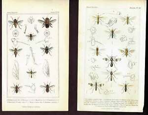 Flies-Black-Thyreophorid-Gnats-Cuvier-Natural-History