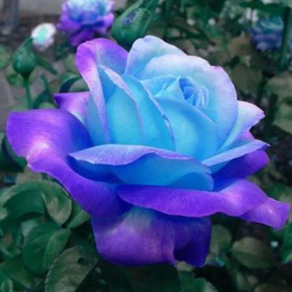 Tribute 35 Regenbogen Rose Rosen Samen Rainbow Cream Seeds Geschenk,...
