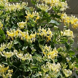 Lonicera scentsation honeysuckle shrub fragrant yellow flowers red image is loading lonicera scentsation honeysuckle shrub fragrant yellow flowers red mightylinksfo