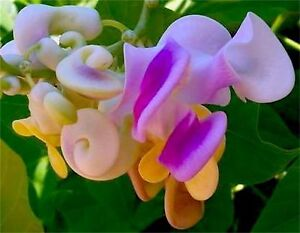 Vigna caracalla very fragrant corkscrew snail vine seeds image is loading vigna caracalla very fragrant corkscrew snail vine seeds publicscrutiny Gallery