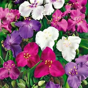 Spiderwort-Shimmer-Mix-Seeds-Easy-To-Grow-Ground-Cover-3-Colours-Cold-Tolerant