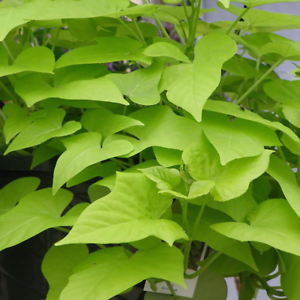 5 LIVE Sweet Potato Vine Plants Drought Resistant Easy To Grow Low Water Bright