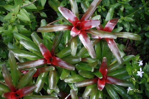Neoregelia Fireball Bromeliad 9cm pot Please Read Description /& T/&Cs