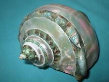schöne Turbo marmoratus- Green turban Seashell, 134.5mm lang-perlmutt
