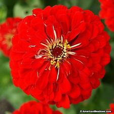 Zinnia- Elegans- Will Rogers Red- 100 Seeds