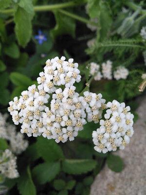 Achillea The Pearl 200 seeds Yarrow