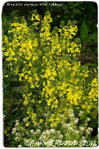 Brassica Oleracea SSP oleracea /'Wild Cavolo/' EX. Whitby, INGHILTERRA 35+ Semi