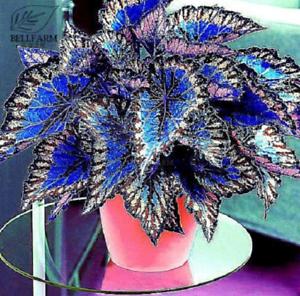 Rare Coleus Bonsai Foliage Plants seeds 30pcs  Colorful Coleus Blumei   Flowers
