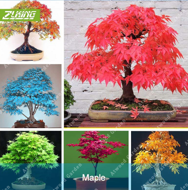 Very Rare American Blue Maple Bonsai Tree Seeds 20 Seeds Pack Japanese Ma For Sale Online Ebay