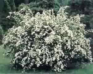 Spiraea halwards silver 3 6 or 10 white flowering shrubs image is loading spiraea 034 halwards silver 034 3 6 or mightylinksfo