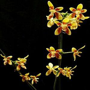 TS621.91 Phalaenopsis fuscata Bare Root A317