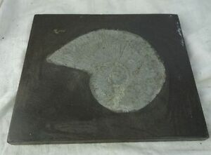 Versteinerung Fossil Schnecke Schiefer aus Sammlung #3