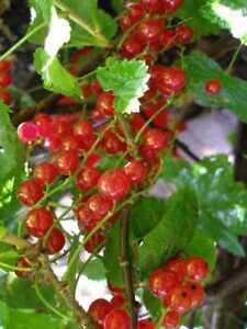 Alberi da frutto ribes rosso albero di ribes albero da frutta altezza 120 130cm ebay - Alberi da frutta in giardino ...