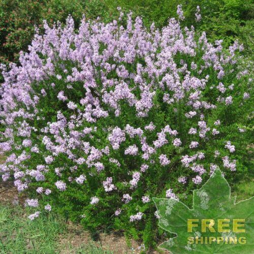 LITTLELEAF LILAC Syringa Microphylla FREE S/&H 25 SEEDS