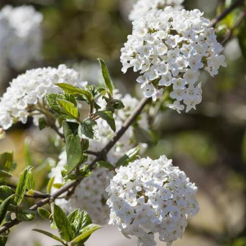 Oster-Schneeball Viburnum burkwoodii 40-60 cm im Topf gewachsen