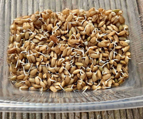 Genuine Rice Seeds Oryza Sativa Ssp Japonica Harvest after 4-5 Months Possible