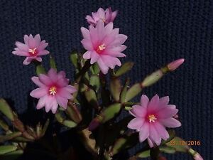 Ec03 easter cactus rhipsalidopsis small pink ebay image is loading ec03 easter cactus rhipsalidopsis small pink mightylinksfo