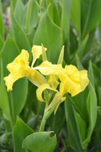 min Canna flaccida 100 Samen Wassercanna Bandana of the everglades golden