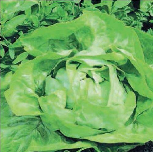 Vegetable 100g Seeds All Year Round Lettuce XBulk