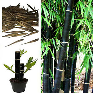 Black-Bamboo-Seeds-Phyllostachys-Nigra-Choice-Of-Quantity