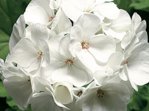 15 Geranium Seeds Pinto Premium white