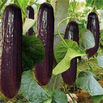100PCS lila schwarz Gurke japanische lang Gurke Samen für