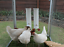 thumbnail 8 - ROYAL ROOSTER Chicken / Poultry Coop - Waterer / Drinker & Feeder Set -Twin Cups