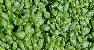 1000-graines-de-basilic-Italien-a-grandes-feuilles