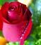 Semillas-rosas-disponible-en-9-tonos-diferentes-10-20-o-30-semillas miniatura 7