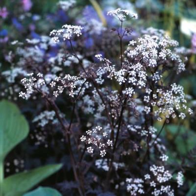 10 000 graines-Nicotiana sylvestris-Annual Fleur Woodland TOBACCO