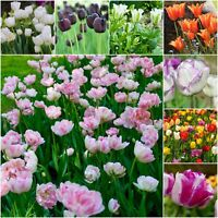 TULIP 'VARIETIES' TULIP BULBS BORDER SPRING FLOWERING BULBS PLANTS PERENNIALS