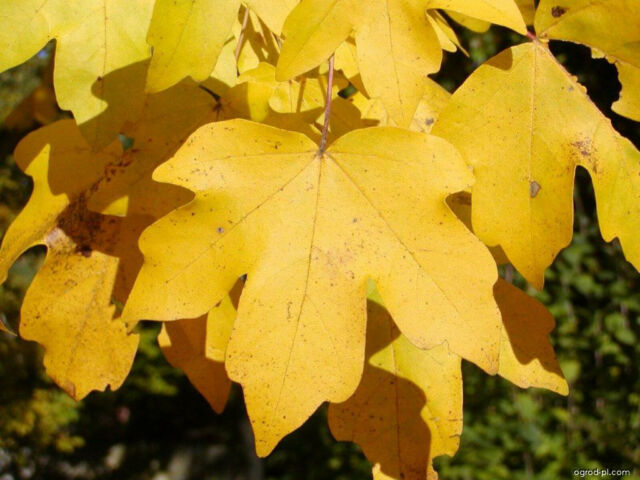 Acer Campestre Field Maple Outdoor Bonsai Tree Seeds For Sale Online