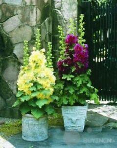 Flower-seed-Dwarf-Hollyhock-30-seeds-Alcea-Althaea-Rosea-garden-patio